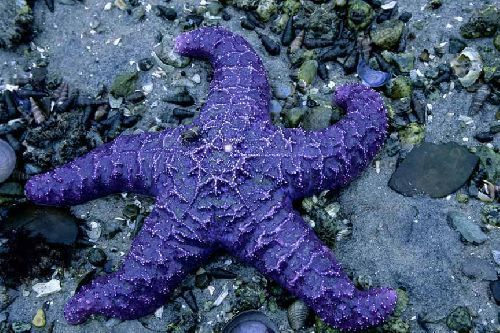 Purple starfish, Pender Island, BC