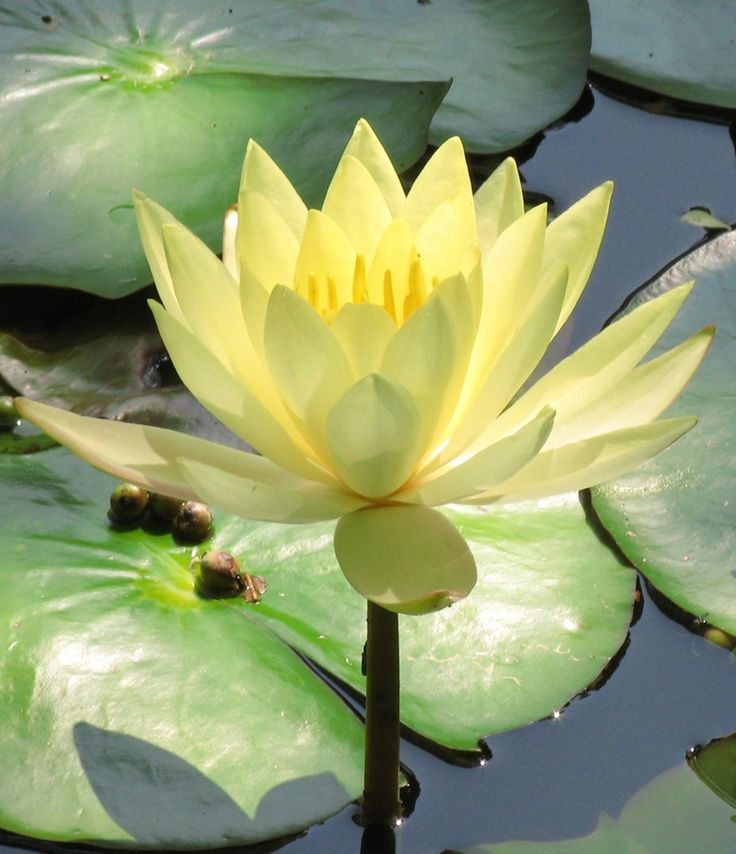 lotus.. beauty rising from the mud.