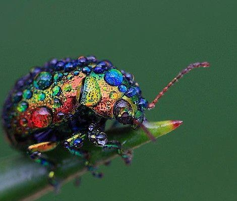 You don't usually hear about insects being endangered since they're typically found in huge numbers. However, the Rainbow Leaf Beetle (Chrysolina cerealis) is an extremely rare species that is only found in a few small populations.