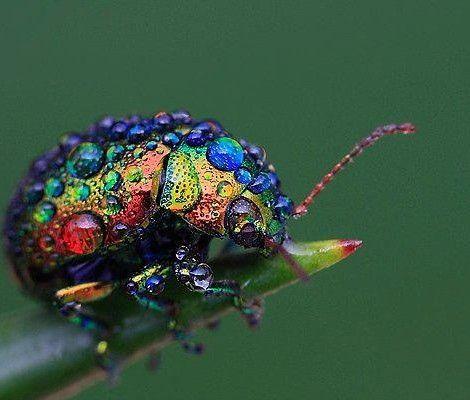 Farbenfroher Käfer im Morgentau