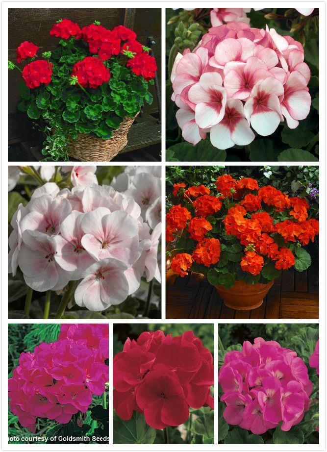 Geranium seeds outstanding series multicolor into 20 seeds #clothing,#shoes,#jewelry,#women,#men,#hats,#watches,#belts,#fashion,#style