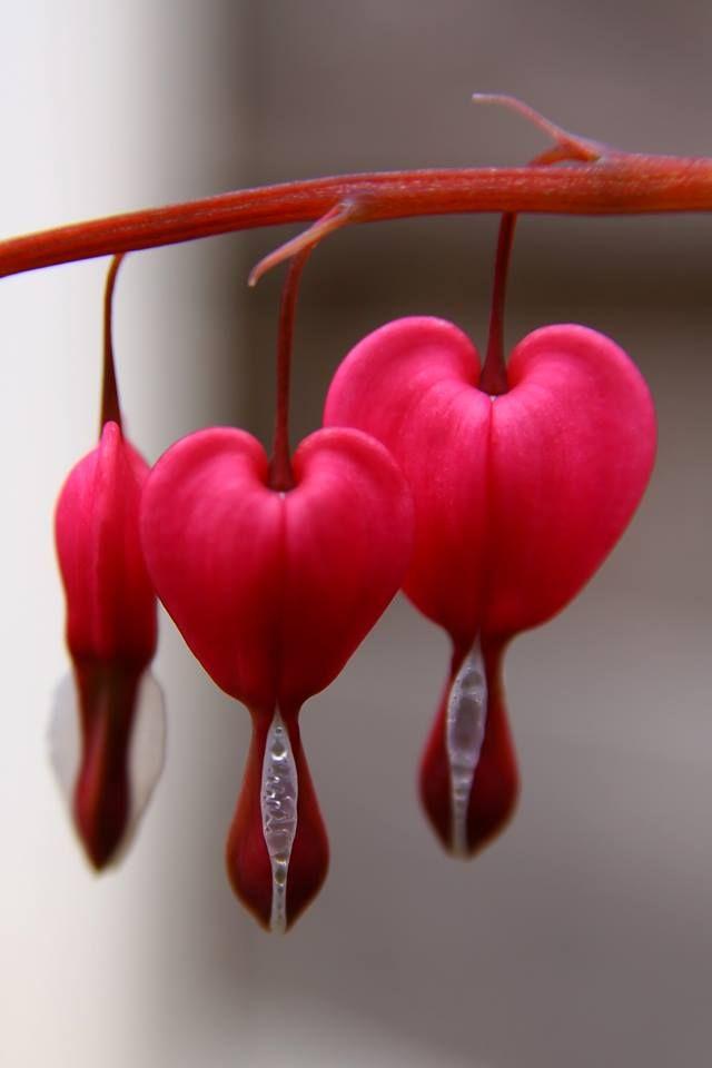 Coração Sangrando (Lamprocapnos spectabilis) flor nativa da Ásia.