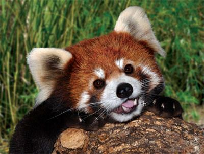 New to the zoo: a ridiculously cute red panda