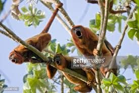 Risultati immagini per howling monkey
