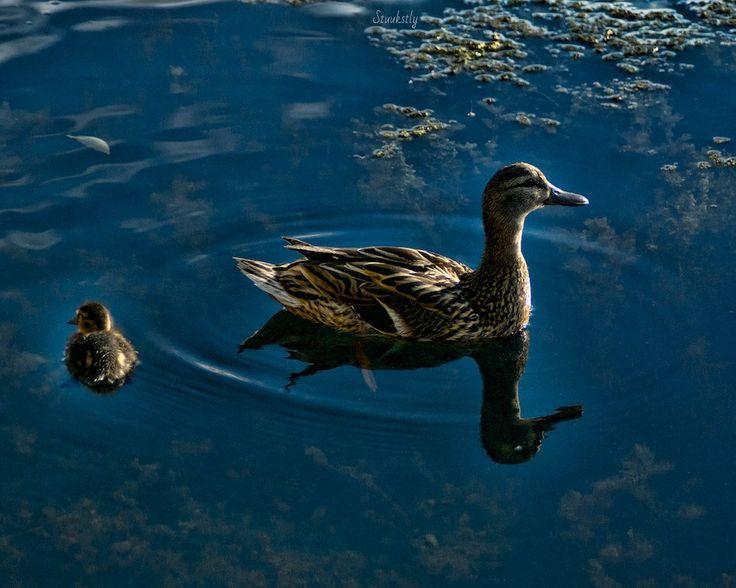 Heaven's ducks by Elena Stuukstly Kozyryatskaya on 500px
