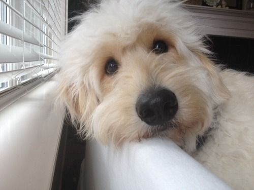 teddy bear dog | Tumblr