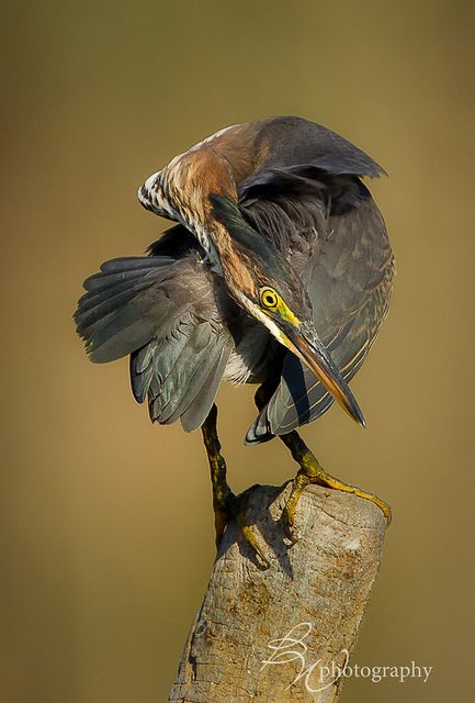 Green Heron Great fisherman and great camouflage. When they go upright vertical they look like a cattail