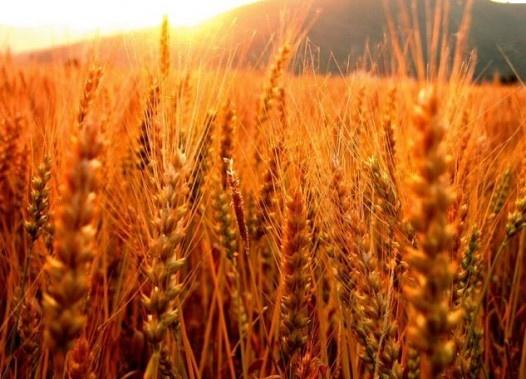 Wheat field in sunlight ...so beautiful