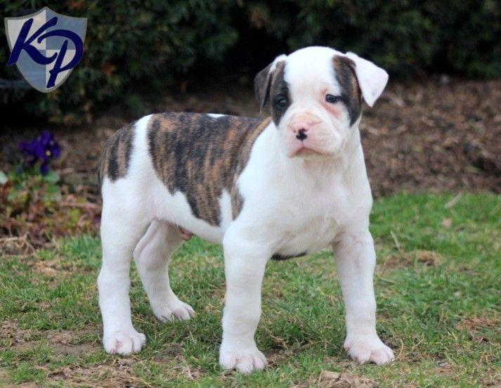Dash – American Bulldog Puppy www.keystonepuppies.com  #keystonepuppies  #americanbulldog