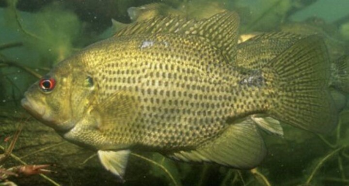 17 best images about bluegill redear warmouth sunfish on for Crappie fish facts