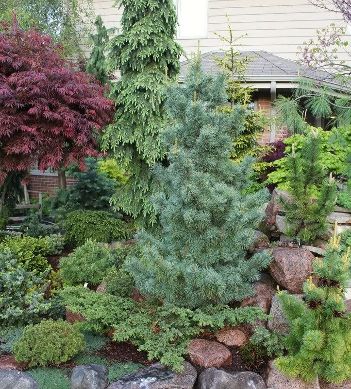 Conifer Garden Ideas probably a 30 year old garden but love the textures and colors gardening ideas pinterest gardens circles and over the Find This Pin And More On Front Yard Conifer Ideas