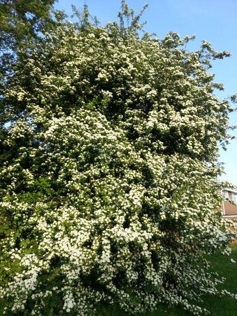 May Blossom Tree at end of road