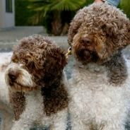 Ducketts Lagotto - Champion, BFJE Clear, LSD Clear, OFA GD Hips, FF Good non-shedding Coat Lineage of Superior temperament.