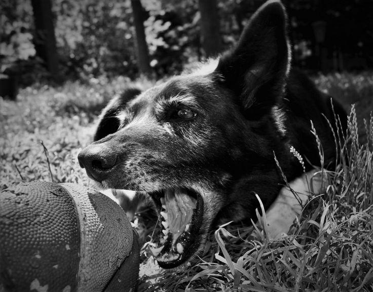 "https://flic.kr/p/HkhsYk | ""And my bark will lose its bite"" Zack Brown | Giulia Bergonzoni #photography #dog #black #white #wolf #ball #bite #bark #love #life #garden #grass #bergonzoni #giulia #photographers #beautiful"