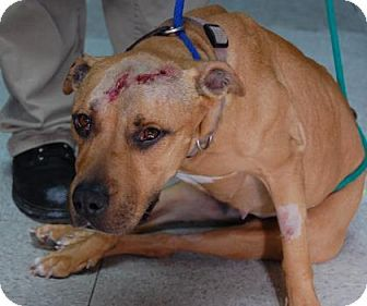 05/16/16 SL ~~~ Special Needs--American Pit Bull Terrier Mix Dog for adoption in Brooklyn, New York - Kiarra. Kiarra before she was taken in by Sean Casey Animal Rescue was hit by a car & suffered some neurological damage. She currently needs assistance to walk but is expected to regain mobility. Latest update; her foster mother says her legs are getting stronger every day & she has almost regained full mobility.