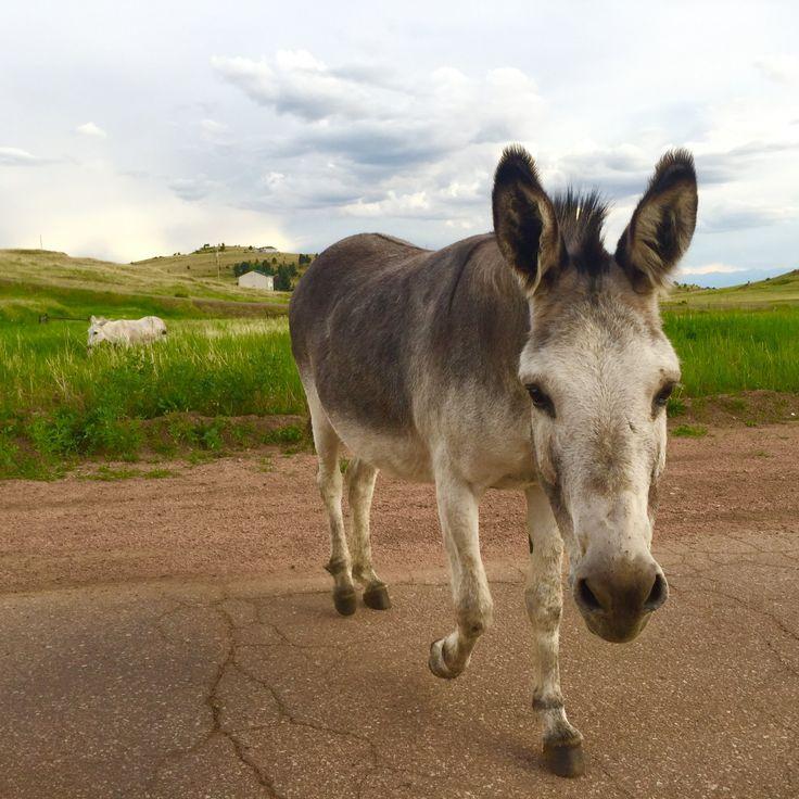 Free-roaming donkey herd in Cripple Creek, Colorado.
