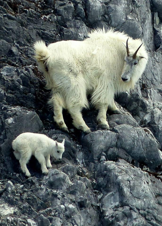 Muttergebirgsziege, die ihrem Kind beibringt, wie man sicher klettert. Die Kinder bleiben bei …   – mountaintop