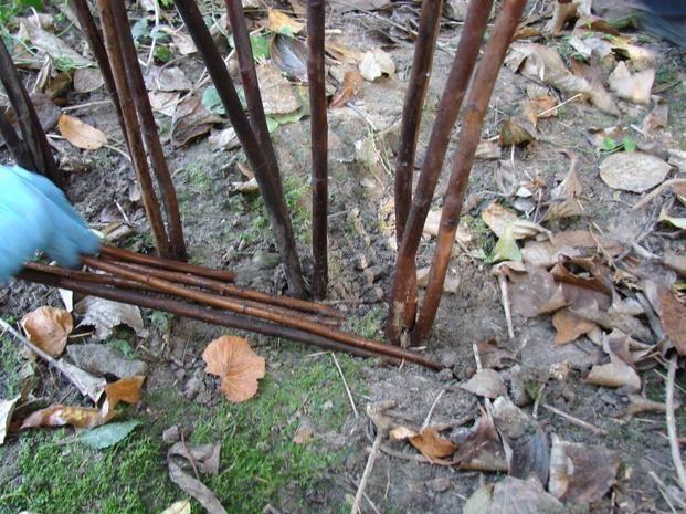 Płotek z wikliny: przy każdej grupie trzech pędów umieszczonych pionowo, wbijamy w ziemię pod jak najmniejszym kątem po dwie gałązki wikliny