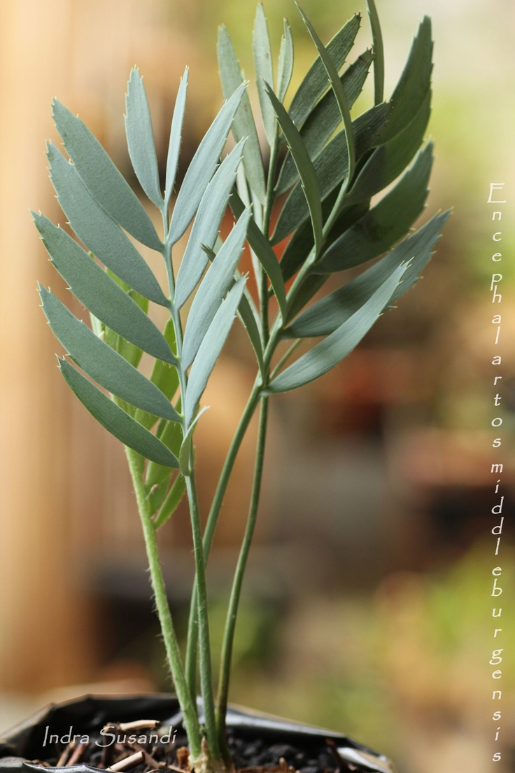 190 best cycads images on pinterest sago palm bonsai trees and