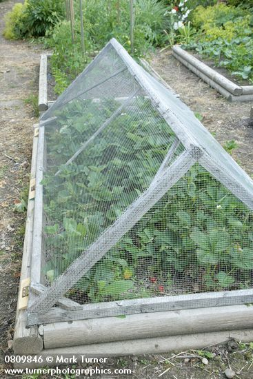 Wire mesh cover over strawberries in raised bed vegetable garden