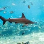 Scalloped Hammerhead Shark ...: Hammerhead Sharks, Games Fish, Scallops Hammerhead, Fish Southeast