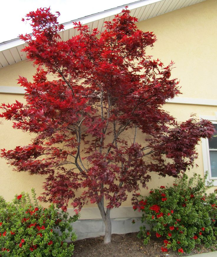 Emperor i japanese maple 39 s attractive dark red foliage for Short trees