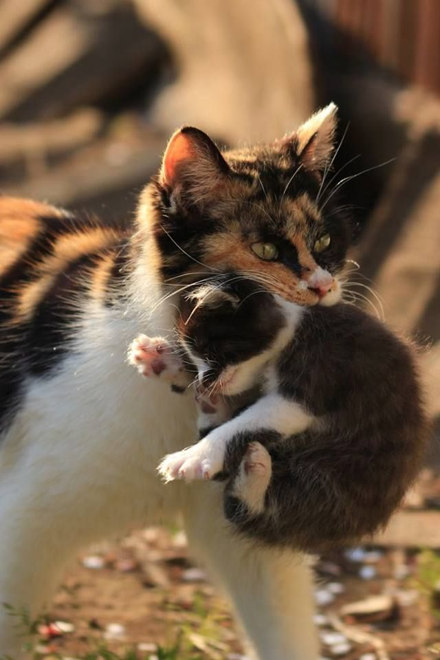 .tortilla-calico cats/kittens have been popping up all over me!  What is the significance?