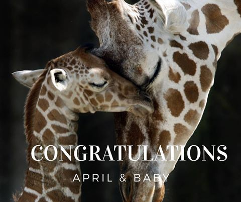 Congratulations to April the Giraffe on the birth of her baby this morning!  04/16/17