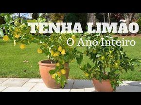 A Maneira mais Fácil de Fazer uma Muda de Pé de Limão - Assim que Faz