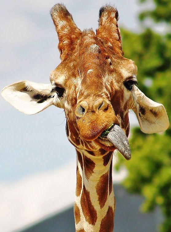 Картинки с прикольным жирафиком