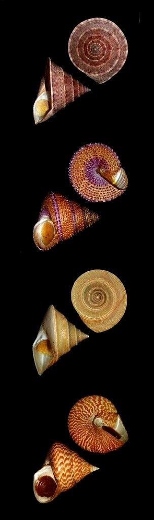 Clanculus puniceus Philippi, Gaza superba Dall, Astralium stellare Gmelin, Astralium tentoriumThiele