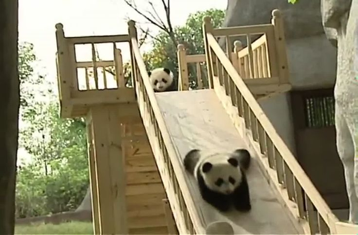 OMG...now I want a panda...  Cute pandas playing on a slide.