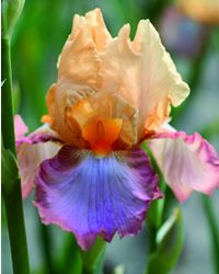 """""""Peach Picotee"""" Iris--gorgeous coloring! Can you imagine a bouquet of these!"""