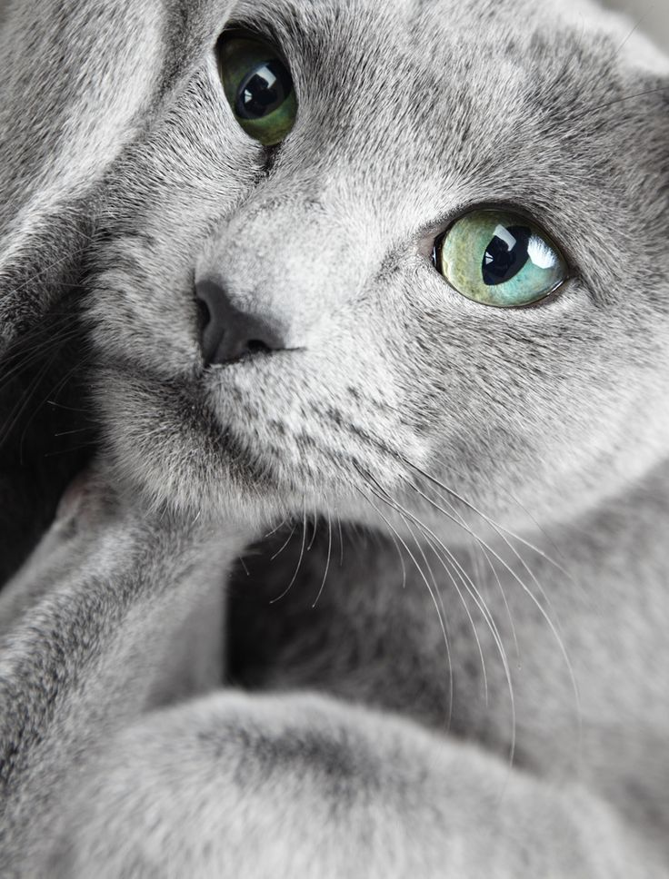 Russian Blue Cat With Green Eyes | Russian Blue | Pinterest Russian Blue With Green Eyes