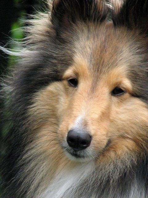 Shetland Sheepdog Dog Breed. NOT a miniature Collie.  Collie is an entirely different breed.