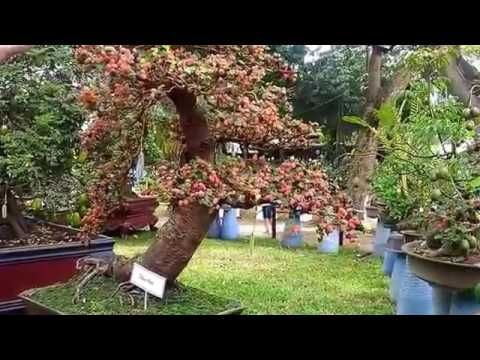 AMAZING BONSAI THE KING OF GARDEN