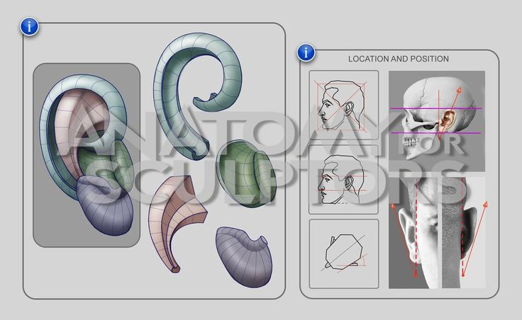 Ear - structure, location and position by anatomy4sculptors on deviantART
