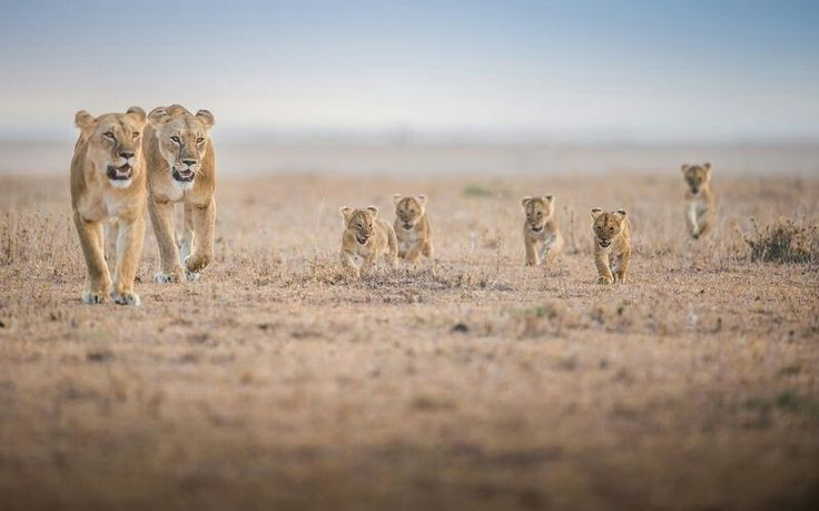 DECEMBER 28, 2017LITTLE LIONS  Lion cubs follow a pair of adults through Masai Mara, Kenya. Female lions in the same pride will often give birth around the same time, and then raise the cubs together.  PHOTOGRAPH BY ALI SAIFALDEEN,