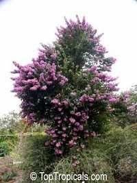 Bougainvillea arborea, Thornless Bougainvillea Tree <3