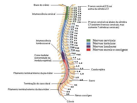 Medula Espinhal - Sistema Nervoso - Sistemas - Aula de Anatomia