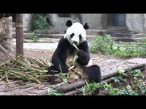 Panda having breakfast in Chengdu, China.
