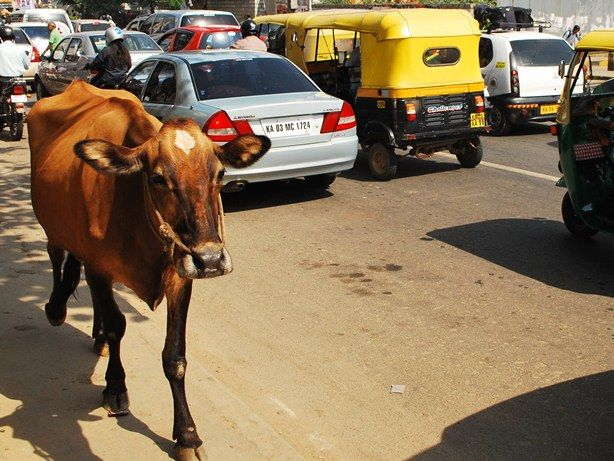 Iconic Images – Cows In Indian Streets