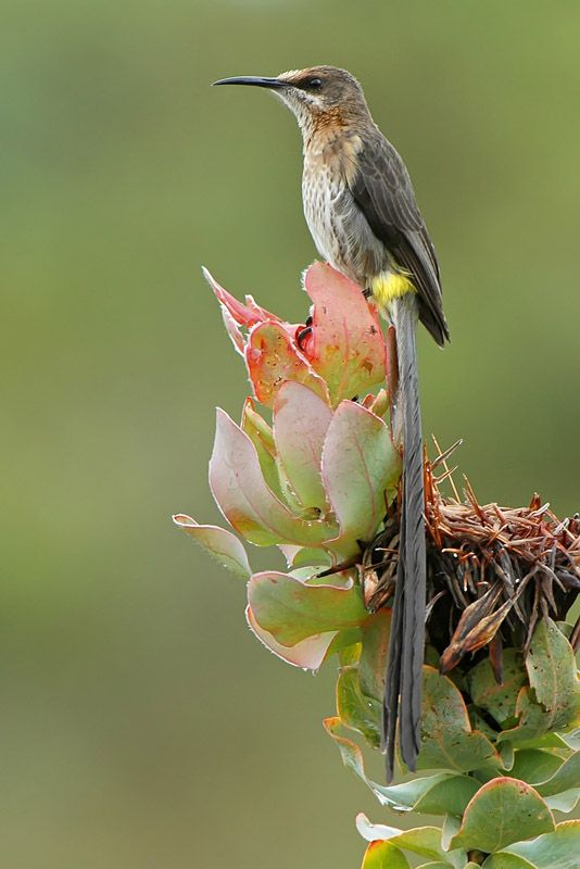 Cape Sugarbird, western & eastern cape provinces of South Africa