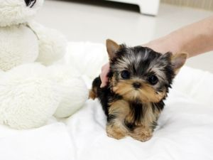 Amazing Adorable Micro Teacup Yorkie Brooklyn Available All