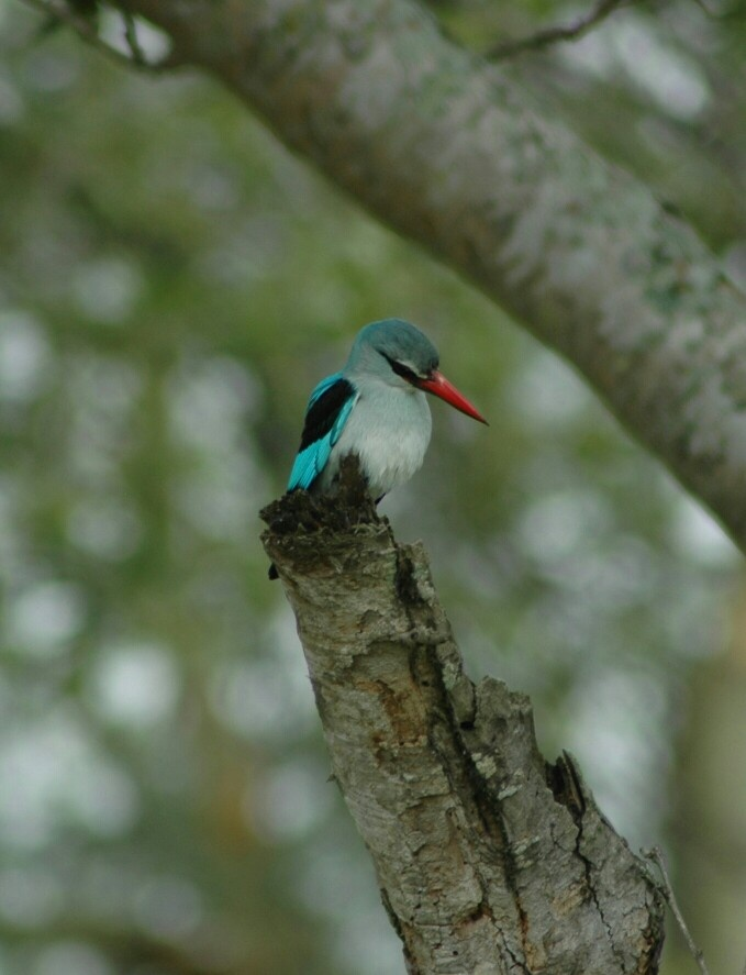 Woodland Kingfisher -Satara Kruger National Park