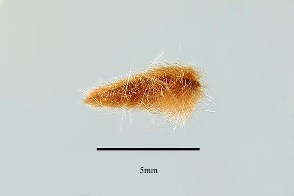 http://www.ars-grin.gov/npgs/images/sbml/Nerium_oleander_seed.jpg