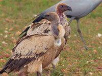 Vulture Cape