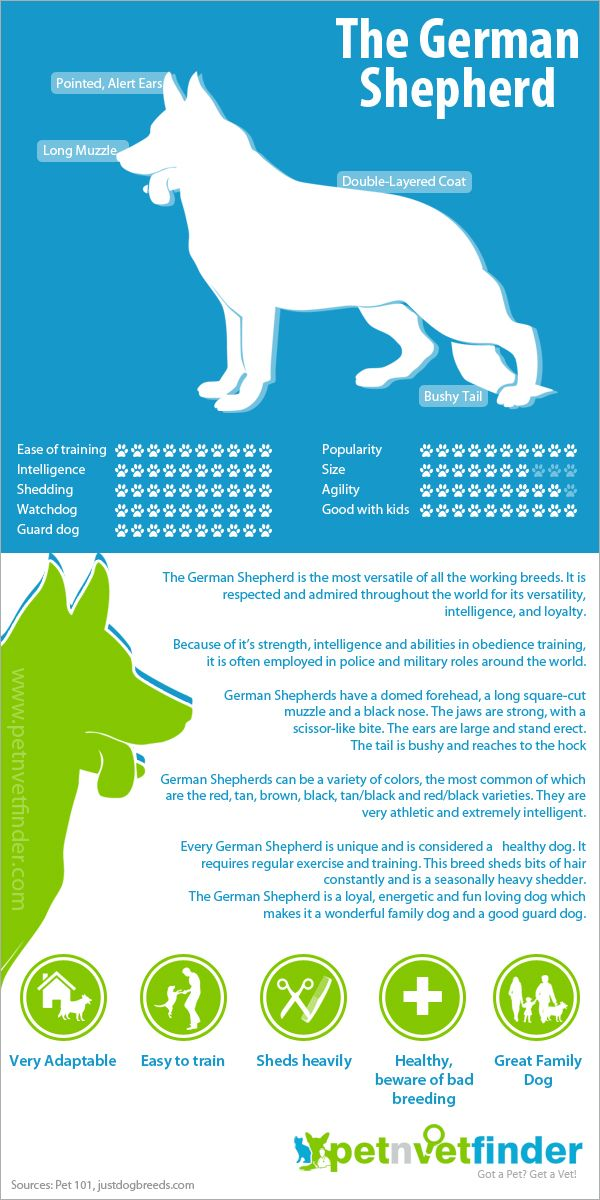 Infographic that provides details on choosing a German Shepherd as a pet.