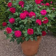 darcey bussell rose - Google Search