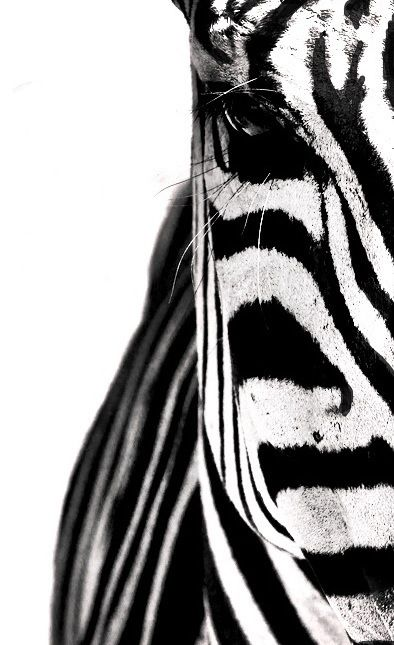 Black and white, part of a zebra
